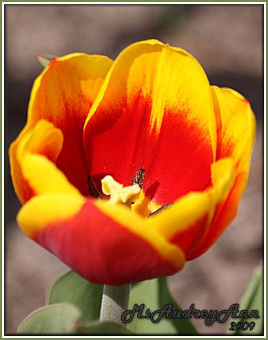 Aad-YellowRedTulip-5-3-09-7397