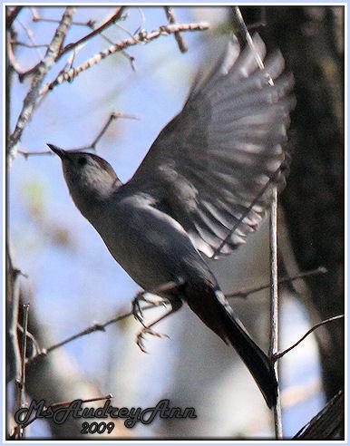 Aad-GrayCatbird-5-5-09-7521
