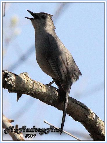Aad-GrayCatbird-5-5-09-7522