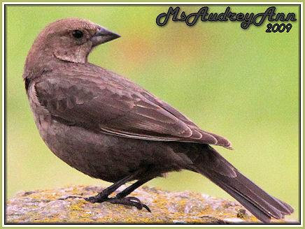 Aad-femaleBrown-HeadedCowbird-5-6-09-7689