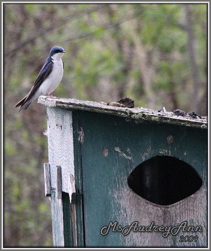 Aad-TreeSwallow-5-9-09-8023