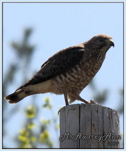 Aad-Broad-WingedHawk-5-10-09-8194