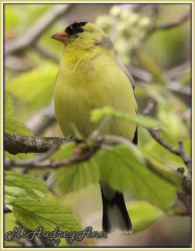 Aad-AmericanGoldfinch-male-5-13-09-8309