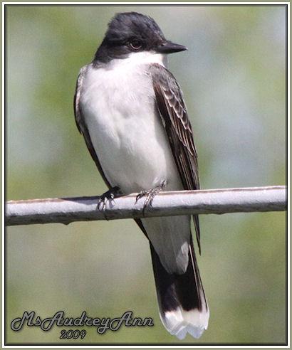 Aad-EasternKingbird-5-14-09-8422