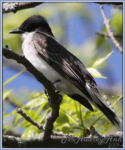 Aad-EasternKingbird-5-14-09-8426