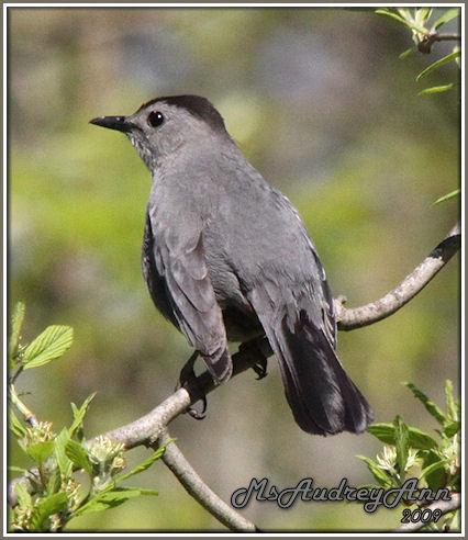 Aad-GrayCatbird-5-14-09-8371