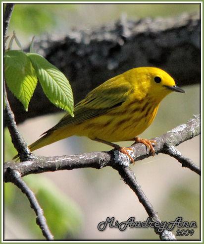 Aad-YellowWarbler-5-14-09-8385
