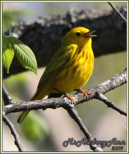 Aad-YellowWarbler-5-14-09-8386