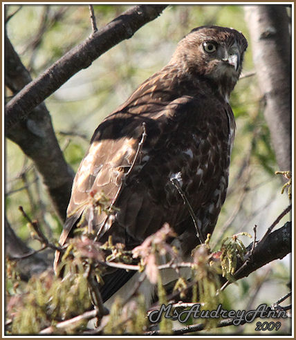 Aad-immature-Red-TailedHawk-5-16-09-8547