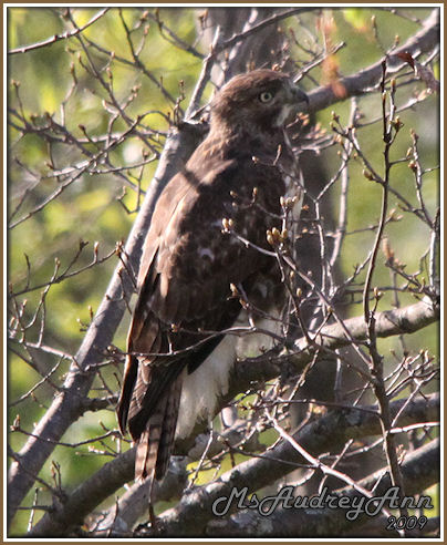 Aad-immature-Red-TailedHawk-5-16-09-8555