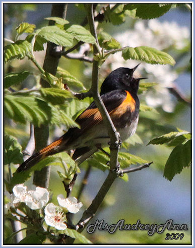 Aad-AmericanRedstartWarbler-male-5-17-09-8601