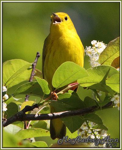Aad-YellowWarbler-5-20-09-8910