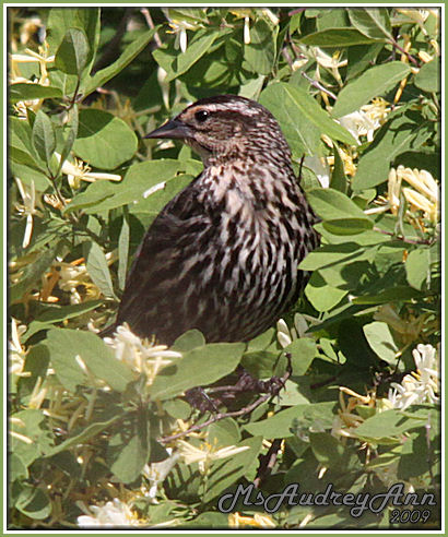 Aad-RedWingedBlackbird-female-5-25-09-9012