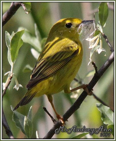 Aad-YellowWarbler-5-29-09-9044