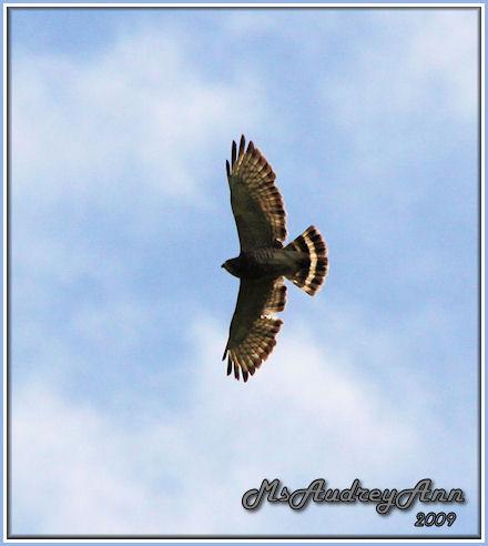Aad-Broad-WingedHawk-5-29-09-9061