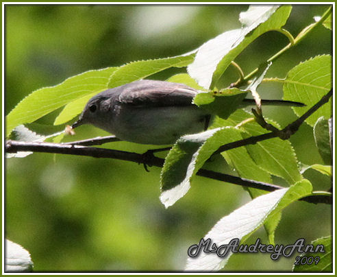 Aad-Blue-GrayGnatcatcher-5-31-09-9420
