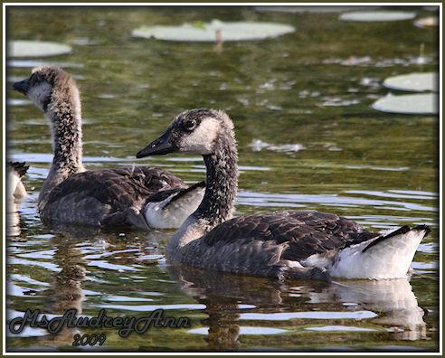 Aad-CanadianGeese-gosling-6-13-09-0300