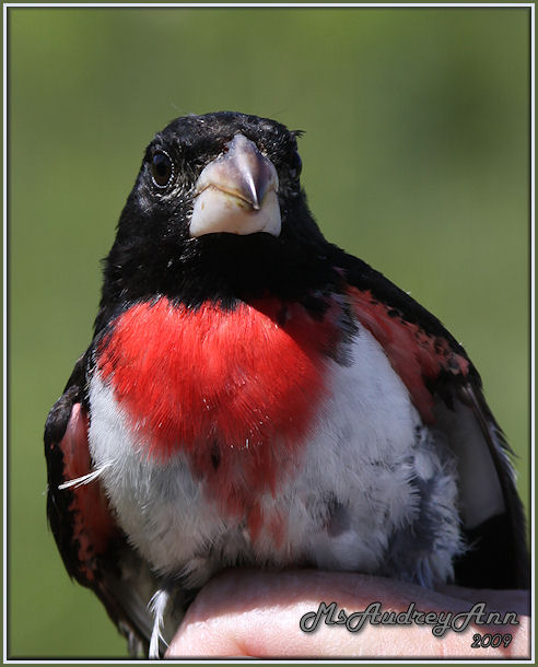 Aad-Rose-BreastedGrosbeak-male-6-4-09-9799