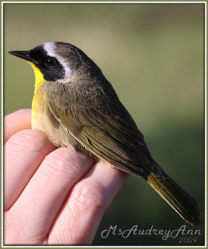 Aad-CommonYellowthroatWarbler-male-6-4-09-9719