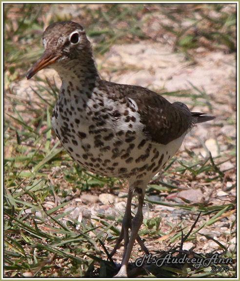 Aad-SpottedSandpiper-adult-6-5-09-9944