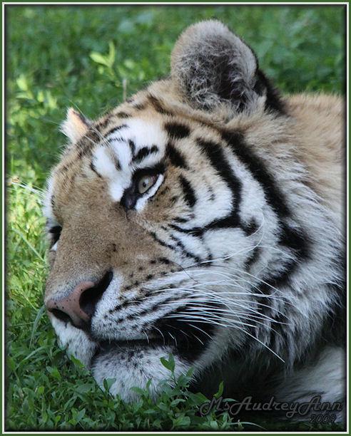 Aad-Tiger-6-25-09-0993