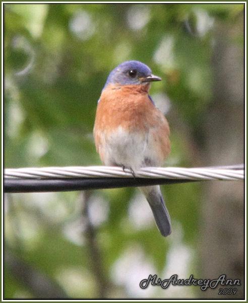 Aad-EasternBluebird-6-6-09-0049