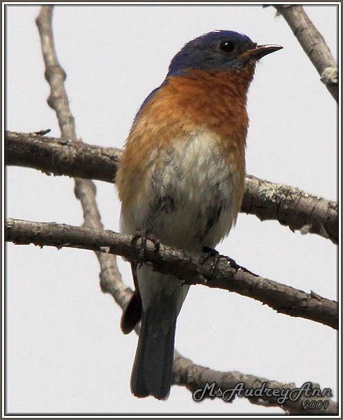 Aad-EasternBluebird-6-6-09-0066
