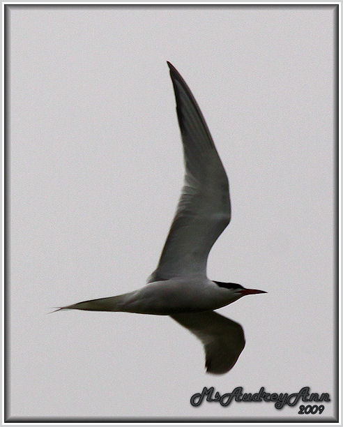 Aad-CommonTern-6-9-09-0170