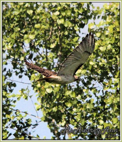 Aad-RedTailed-Hawk-6-9-09-0084