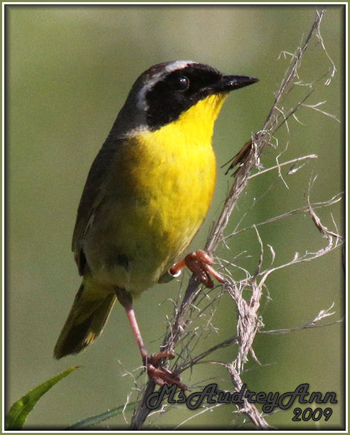 Aad-CommonYellowThroatWarbler-male-6-27-09-1125