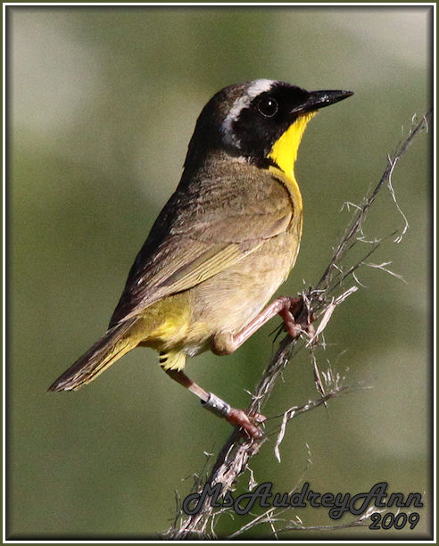 Aad-CommonYellowThroatWarbler-male-6-27-09-1128