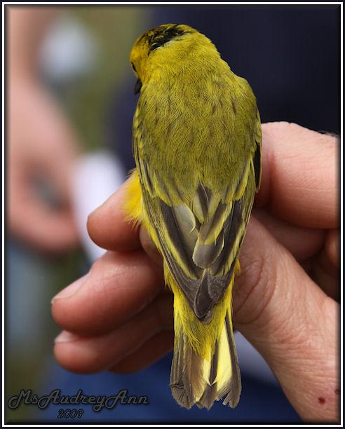 Aad-YellowWarbler-6-11-09-0257