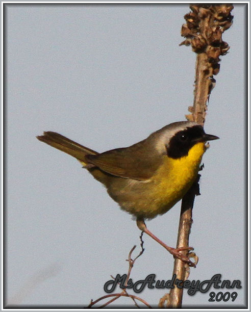 Aad-CommonYellowthroatWarbler-6-13-09-0373