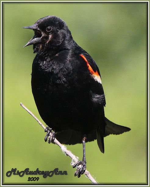 Aad-Red-WingedBlackbird-6-14-09-0457