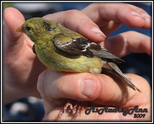 Aad-AmericanGoldfinch-female-6-24-09-0977