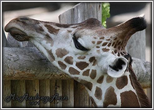 Aad-Giraffe-6-25-09-1111