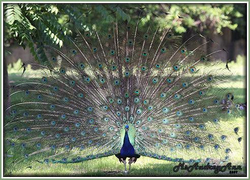Aad-Peacock-6-25-09-1033
