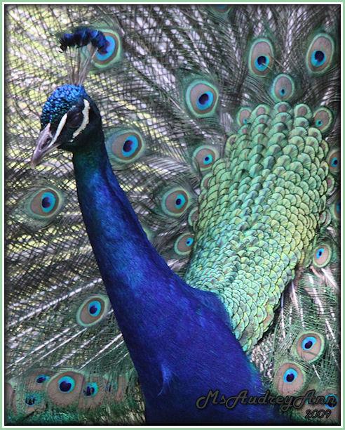Aad-Peacock-6-25-09-1036