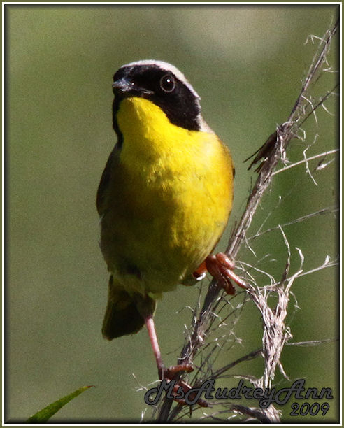 Aad-CommonYellowThroatWarbler-male-6-27-09-1126