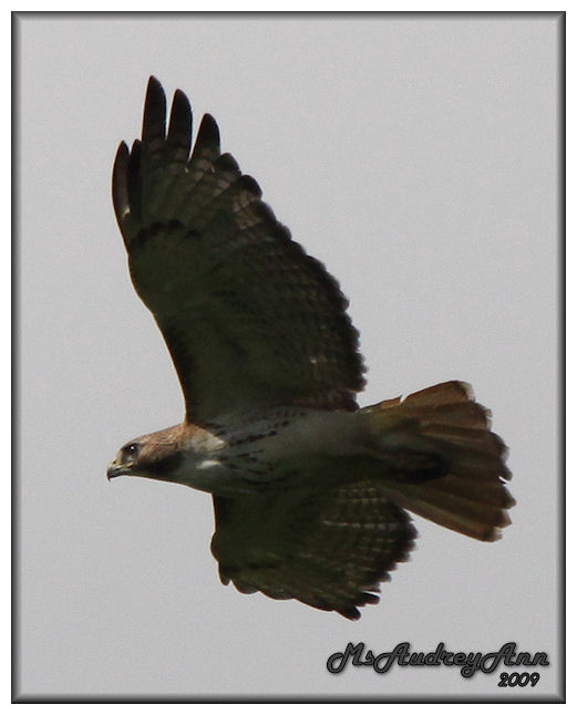 Aad-Red-TailedHawk-6-29-09-1271
