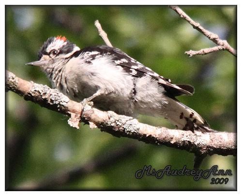 Aad-DownyWoodpecker-7-4-09