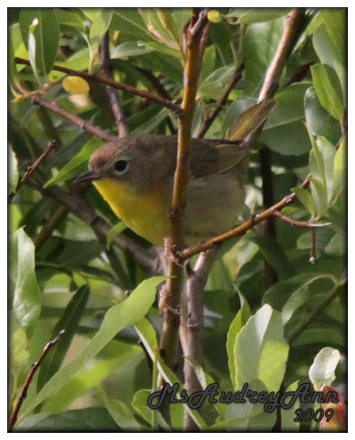Aad-CommonYellowthroatWarbler-female-7-4-09-1390
