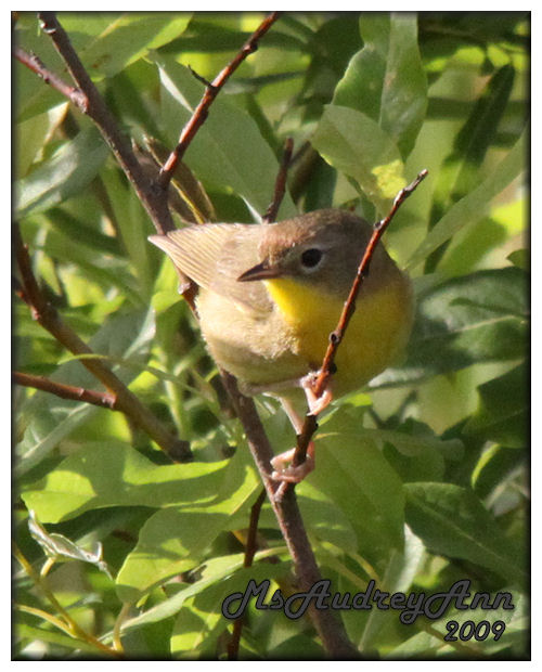 Aad-CommonYellowthroatWarbler-female-7-4-09-1392