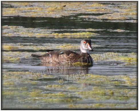 Aad-WoodDuck-male-7-18-09-2134