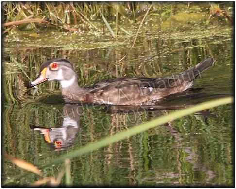 Aad-WoodDuck-male-7-18-09-2149