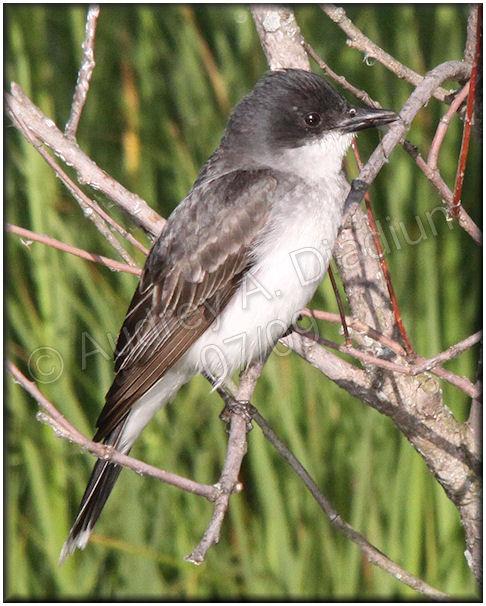 Aad-EasternKingbird-7-18-09-2091