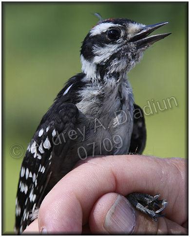 Aad-DownyWoodpecker-7-16-09-1900
