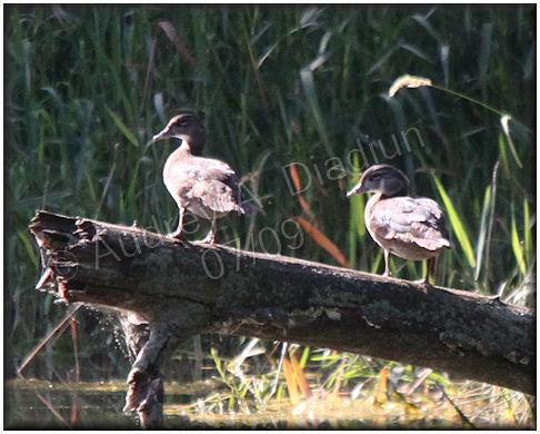 Aad-WoodDuck-7-12-09-1785