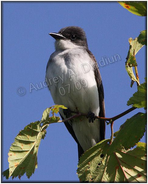Aad-EasternKingbird-7-12-09-1759
