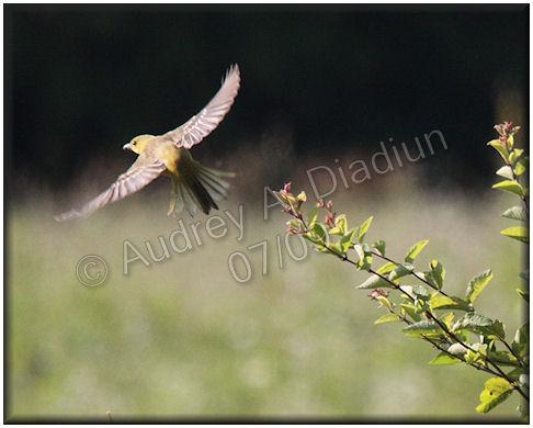 Aad-AmericanGoldfinch-female-7-12-09-1736